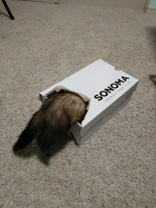 A shoe box with a hole will become the hiding spot of choice for many a ferret!