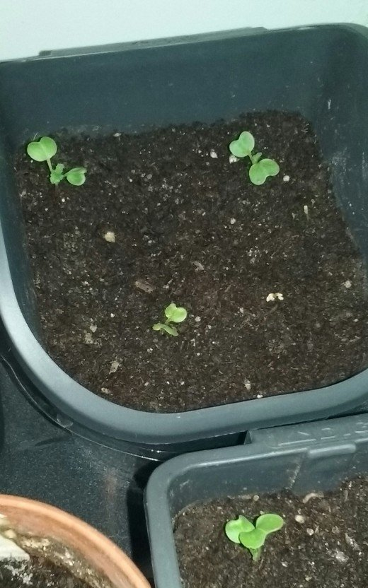 These radishes grow quickly from seed. I use seed starting potting soil.