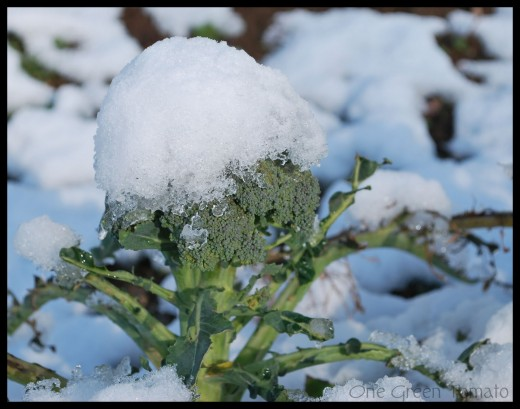 Broccoli plants thrive in cold weather and have been known to survive temperatures as low as 28 degrees Fahrenheit.
