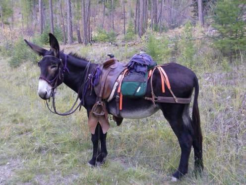 A modern day Jack Donkey ready to ride
