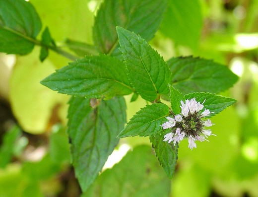 Peppermint (Mentha x piperita) can be used to make a delicous and soothing tea.