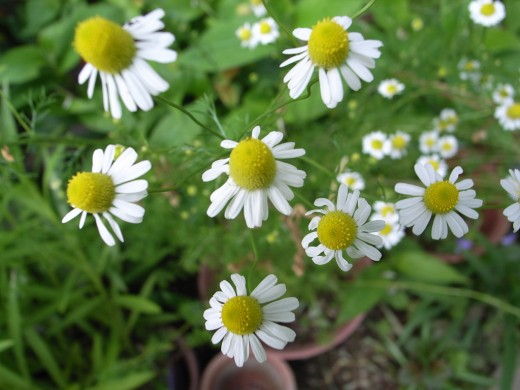 German chamomile (Matricaria recutita) can be made into a tea to benefit digestion.