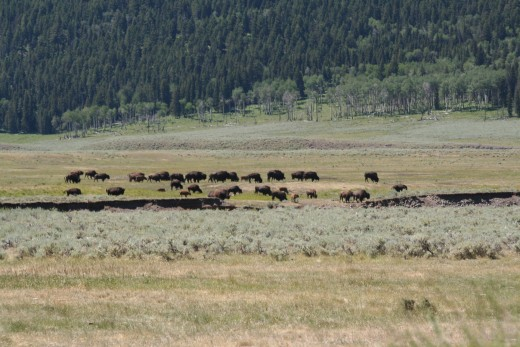 A herd of Bison by the Lamar River