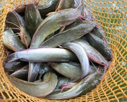 catfish that have been harvested
