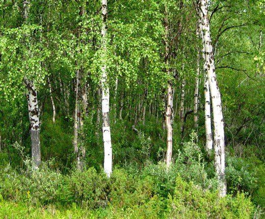 European Birch.
