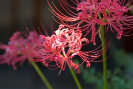 Galantamine is often derived from this beautiful plant, the red spider lily