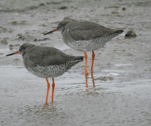 A couple of photos of Common Redshank taken at Kilnsea.