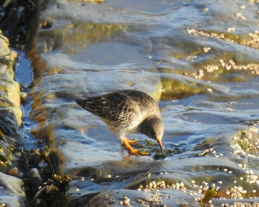 A couple of photos of one of the 18 Purple Sandpipers that I saw in Bridlington Harbour.