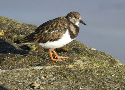 A couple of photos of one of the many Ruddy Turnstones that I saw at Bridlington Harbour.