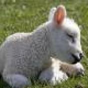 Shepherd's Lamb profile image