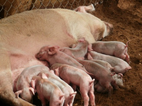 A litter of pigs for the settlers