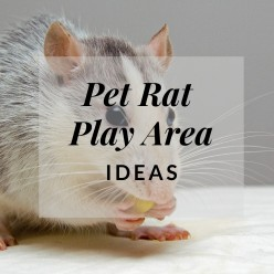 How to Create a Pet Rat Play Area