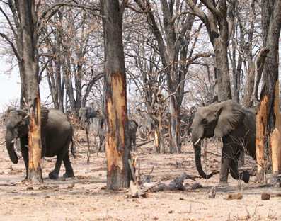 Example of the damage done by elephants
