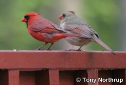 A Male and Female Cardinal Bird   Courtesy of Tony Northrup
