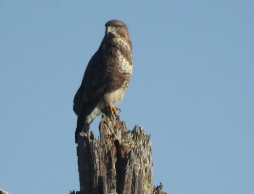 A photograph of a stunning Common Buzzard up on Strawberry Hill.