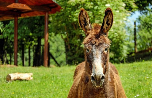Mule Fact: did you know that a mule's hearing is the same as a cat's hearing?