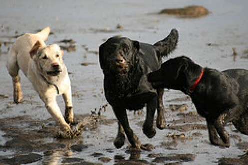 Racing labradors