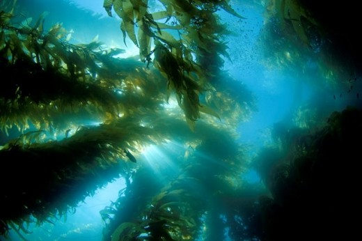 Kelp is an algae that surrounds our coastal regions acting as a food forest and home to local wildlife.