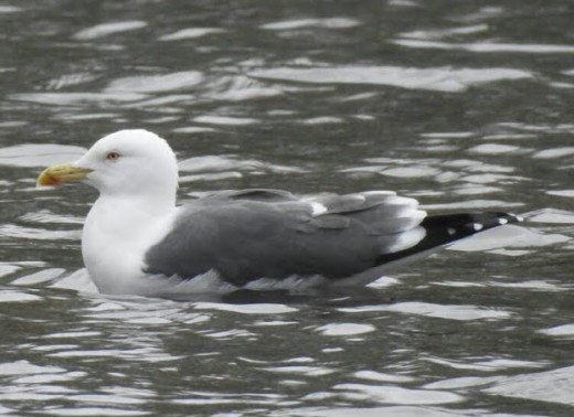 A photograph of the Lesser Black-backed Gull that was loafing in among the many Black-headed Gulls.