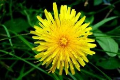 Why Do You Need to Make Your Own Dandelion Salve?