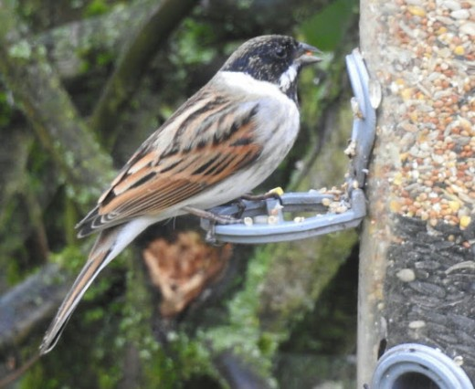 A male Common Reed Bunting.
