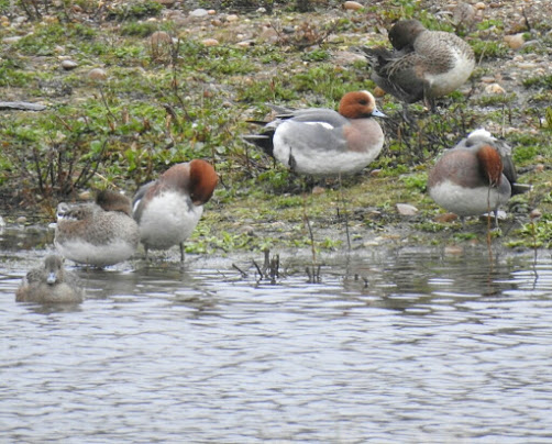 There were over 200 Eurasian Wigeon present at Ladywalk on the day of my visit.
