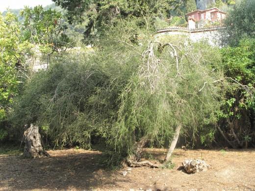Origin of this essential oil, the tea tree, Melaleuca alternifolia.