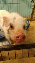 Part 2- Acclimating a New Pig in Our Home