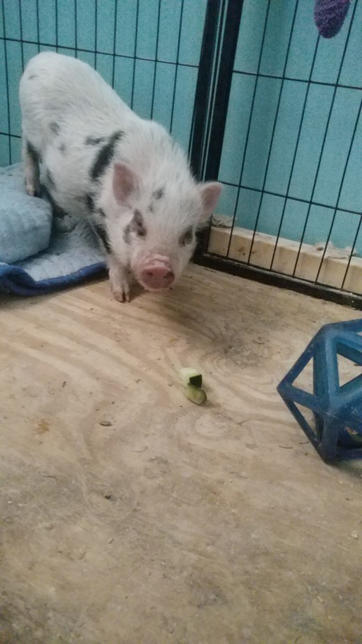 Samson with a piece of cucumber and one of his favorite toys!