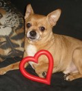 Chihuahuas: Tiny Bodies, Big Hearts