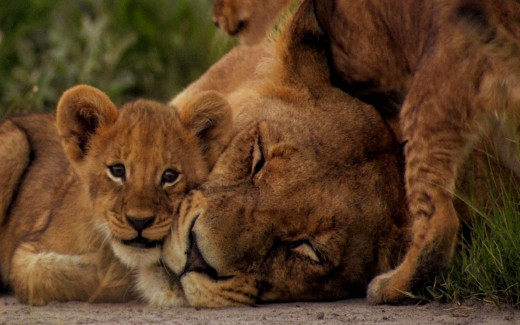 Mama Lioness and her Cubs