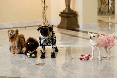 A 'Beverly Hills Chihuahua' and her friends.