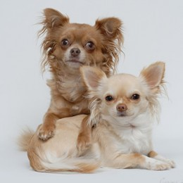 Red and Fawn, long-haired Chihuahuas