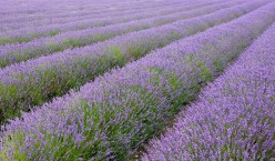 The Healing Properties of Lavender