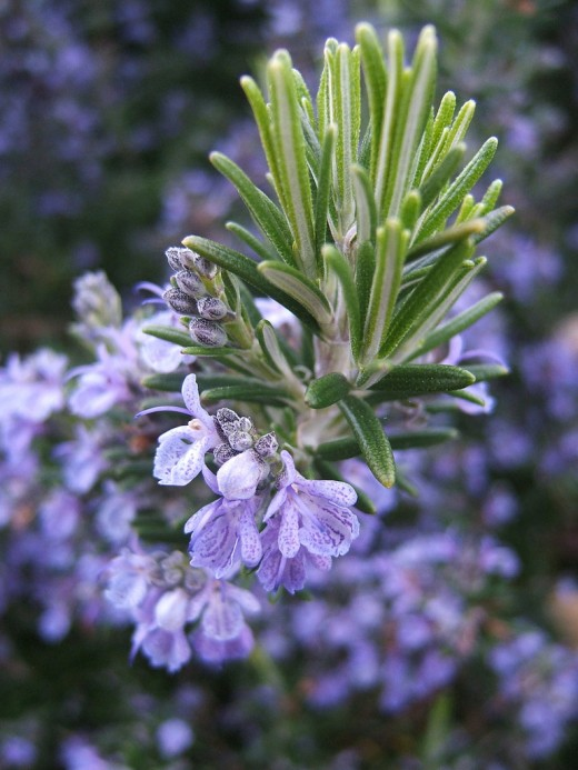 Rosemary essential oil is considered a top note oil.
