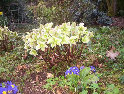 Hellebores are the first flowers to bloom, sometimes popping up in the midst of the snow.  They are slug- and deer-proof.