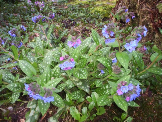 Pulmonaria is a shade garden loving perennial. It is often called Boy-Girl plant because one plant will have both pink and blue blossoms.