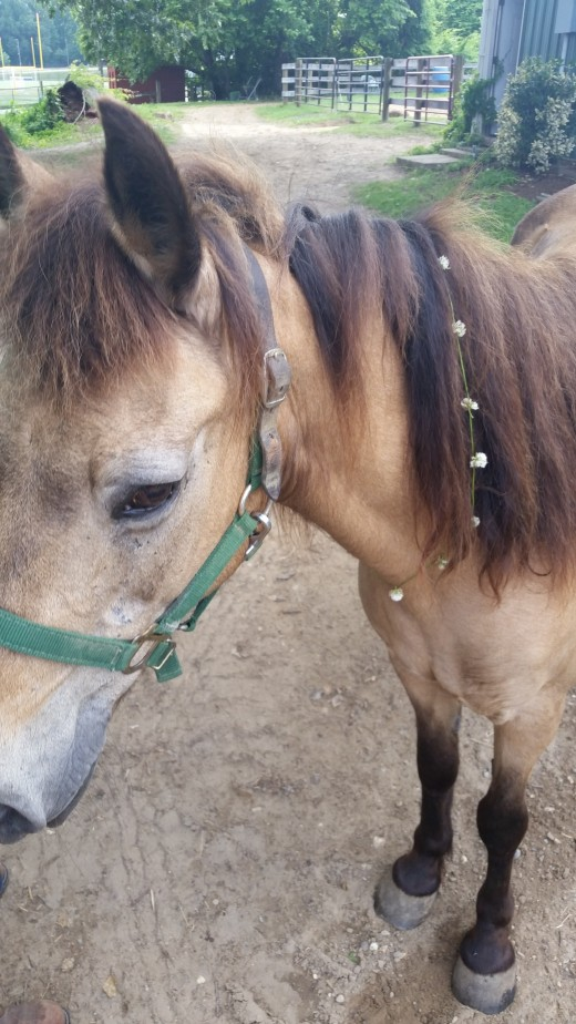 Penny with flowers in her mane. Even the old lady spruces up pretty nicely!