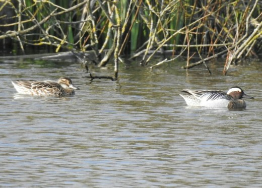 A photograph of the pair- easily the best views of this species that I've ever had.