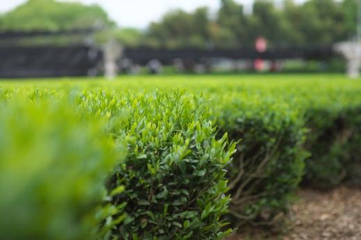 Tea leaves at Shirakawa, Uji City
