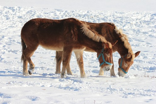 Mules in the snow