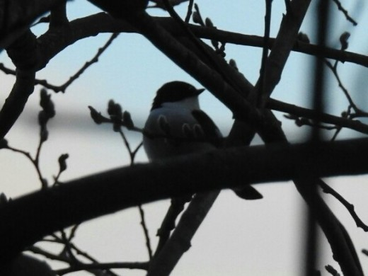 Probably the best picture that I managed to get of the male Pied Flycatcher.