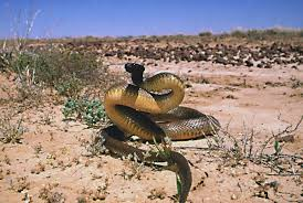 Inland Taipan...move over, cobber, you'vs been outclassed!
