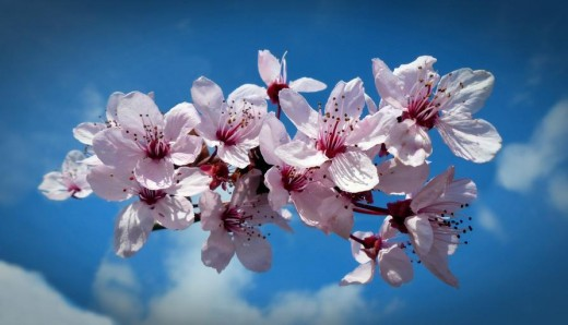 Cherry blossoms in bloom. Enjoy the sweet perfume.