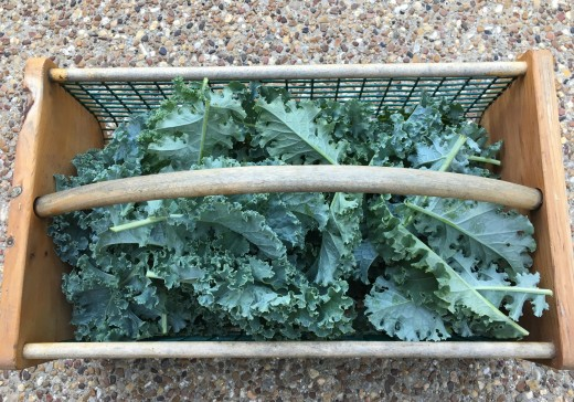 Kale picked and rinsed in a garden hod