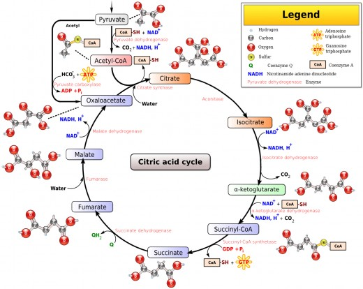 The Krebs/Citric Acid Cycle