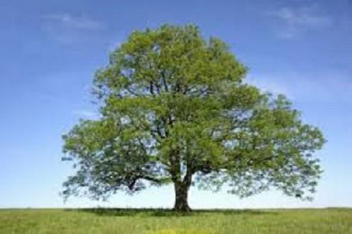 An Ash Tree.