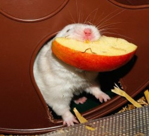 This hamster loves apples on New Year's Day!