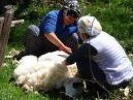 Turkish women shearing sheep