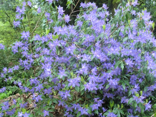 blue rhododendron